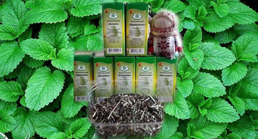 Мелисса-прекрасная ароматная лекарственное растение
