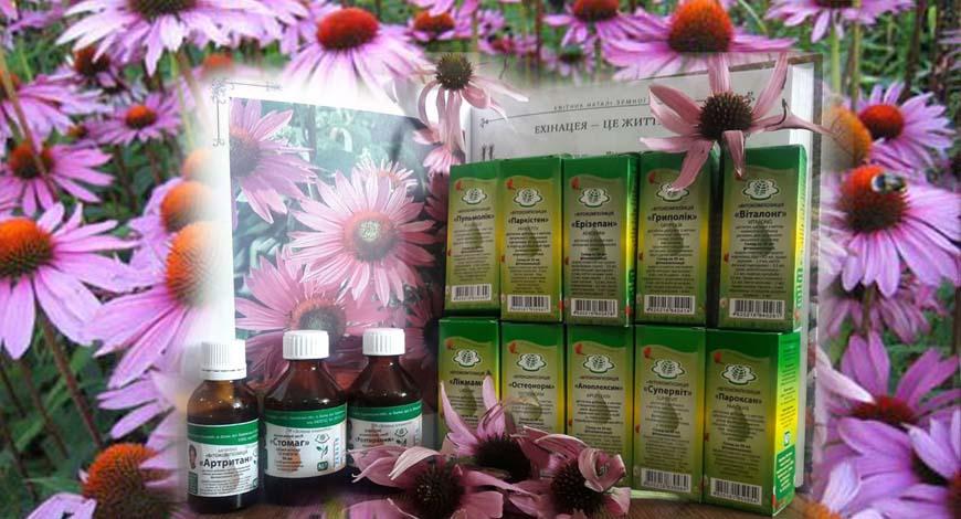 Эхинацея - это мощный растительный иммуностимулятор