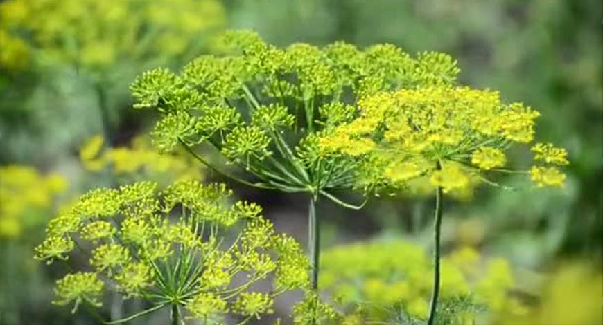 Желтеют зонтики укропа - созревают лекарства с огорода