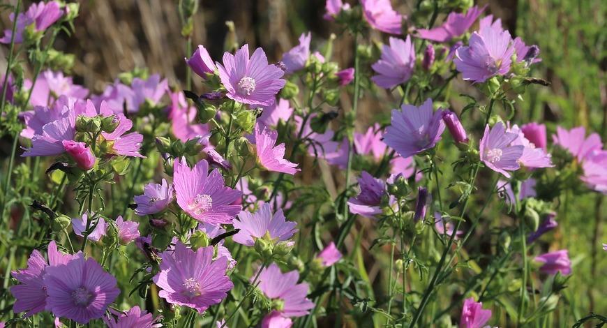 Цветет прекрасная алтея. Розовые цветы соблазняют пчел, а нам дарят исцеления.